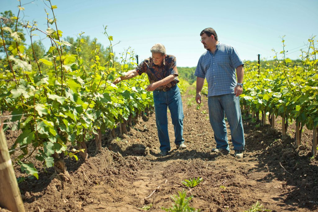 Two men walking through vineyard checking grapes